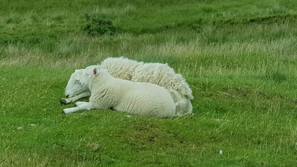 Pecore delle Highlands Scozzesi